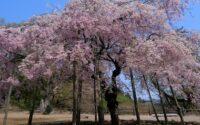 cerisier-hiver.jpg